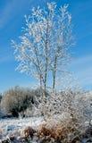 蓝色分行休息日霜谎言天空雪结构树冬天 免版税图库摄影