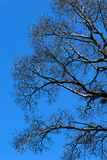 蓝色分行停止的天空结构树 库存图片