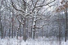 蓝色分行对比覆盖物森林冻结的橡木天空雪结构树冬天 库存图片