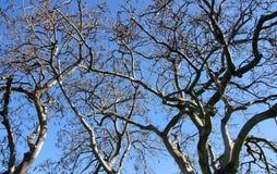 蓝色分行查出的天空结构树 免版税库存照片