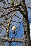 蓝色分行chorisia五开花表单果子以色列照片指向的天空speciosa星形夏天结构树 库存图片