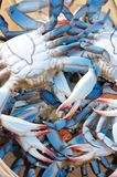 蓝色切塞皮克犬螃蟹 库存照片