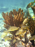 蓝色加拉帕戈斯群岛排行了攫夺者 免版税库存照片