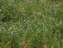 蓝色勿忘草花的领域 图库摄影