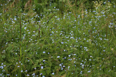 蓝色勿忘草花的领域 库存图片