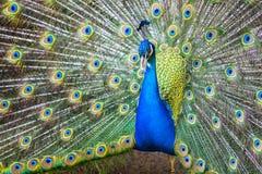 蓝色印度孔雀 免版税图库摄影