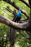 蓝色印第安孔雀 免版税库存照片