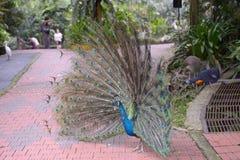 蓝色印第安孔雀 库存图片