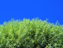 蓝色叶子天空阳光结构树 库存图片