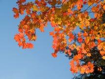 蓝色叶子槭树红色天空结构树 图库摄影