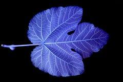 蓝色叶子 免版税库存照片