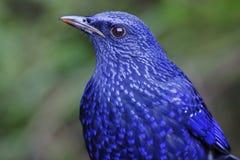 蓝色吹哨的鹅口疮Myophonus caeruleus鸟紧密  免版税库存图片