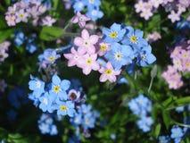 蓝色和桃红色勿忘草花 库存照片