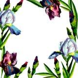 蓝色和桃红色虹膜 花卉植物的花 框架边界装饰品正方形 免版税图库摄影