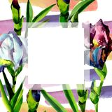蓝色和桃红色虹膜 花卉植物的花 框架边界装饰品正方形 免版税库存照片