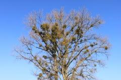 蓝色和植物学寄生生物 免版税图库摄影