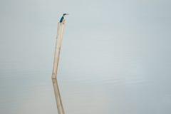 蓝色和白色翠鸟,抓住衣领口的翠鸟 库存图片