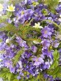 蓝色和白色银莲花属花花束  库存照片