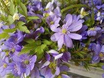 蓝色和白色银莲花属花花束  库存图片