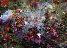 蓝色和红色多刺的海蛇尾 免版税库存照片