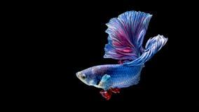 蓝色和红色暹罗战斗的鱼,在黑色隔绝的betta鱼 库存照片