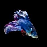 蓝色和红色暹罗战斗的鱼,在黑色隔绝的betta鱼 库存图片