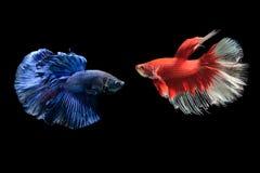 蓝色和红色暹罗战斗的鱼, betta splendens 库存图片