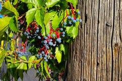 蓝色和红色莓果 库存图片