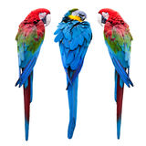 蓝色和红色金刚鹦鹉 库存图片