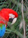 蓝色和红色金刚鹦鹉 免版税库存照片