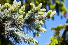 蓝色和绿色与针的杉木云杉的分支 免版税库存照片