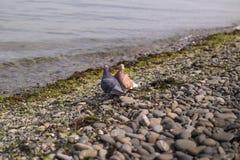 蓝色和褐色鸠 一个对在海滩的鸽子 免版税库存照片