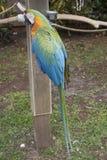 蓝色和金子被栖息的金刚鹦鹉 免版税库存照片