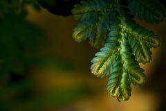 蓝色和金蕨关闭在丰富的森林里仅发现了 库存图片