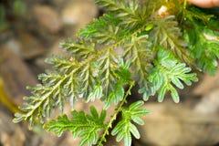 蓝色和金蕨关闭在丰富的森林里仅发现了 免版税库存照片