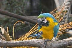蓝色和金金刚鹦鹉坐树枝 免版税库存照片