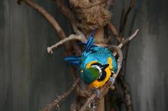 蓝色和金金刚鹦鹉异常的角度从上面 免版税图库摄影