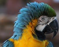 蓝色和金金刚鹦鹉被翻动的羽毛 图库摄影
