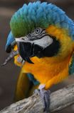蓝色和金金刚鹦鹉跳舞 免版税图库摄影