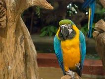 蓝色和金金刚鹦鹉鹦鹉,是与蓝色顶部和黄色的一只大南美鹦鹉在零件下栖息在树的 免版税库存图片