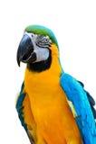 蓝色和金金刚鹦鹉, Ara ararauna 免版税库存照片