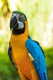 蓝色和金金刚鹦鹉, Ara ararauna 图库摄影