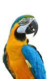 蓝色和金金刚鹦鹉, Ara ararauna 库存照片