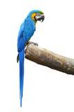 蓝色和金金刚鹦鹉 免版税库存图片