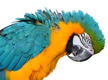 蓝色和金金刚鹦鹉 库存图片
