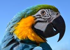 蓝色和金金刚鹦鹉 免版税图库摄影