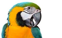 蓝色和金金刚鹦鹉 免版税库存照片
