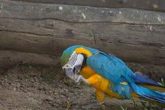 蓝色和金银铜合金金刚鹦鹉鹦鹉 库存照片