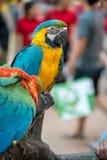蓝色和黄色大鹦鹉坐分支 免版税库存图片