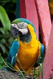 蓝色和黄色金刚鹦鹉鸟。 免版税库存照片